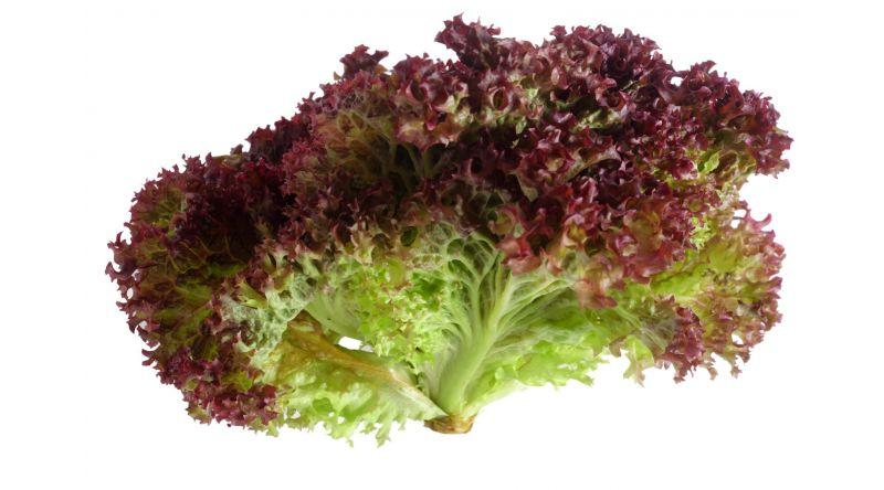 Lollo Rosso Lettuce English